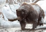 На окраине Югорска застрелили медведя
