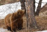 В окрестностях Нягани посчитали медведей