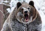 Медведя-шатуна ищут охотники в ХМАО