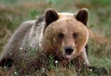 Правила поведения при встрече с бурым медведем