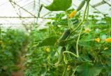 В ХМАО будет реализован масштабный проект по выращиванию огурцов, помидоров и арбузов