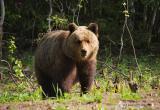 Администрация Талинки предупреждает жителей о выходах медведей