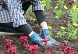 В этом году в парках и скверах Нягани высадили около 120 тысяч растений