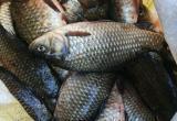Зараженную рыбу из Тюмени обнаружили в Сургуте