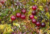 Югорские ягоды планируется продавать через AliExpress